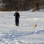 Unga äldre djur ja alla drivdes på Vojen Foto: PElle Nilsson